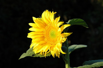 tounesol en fleur