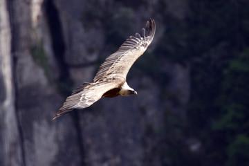 vautour fauve 2