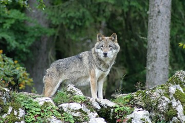 Photo sur Plexiglas Loup loup
