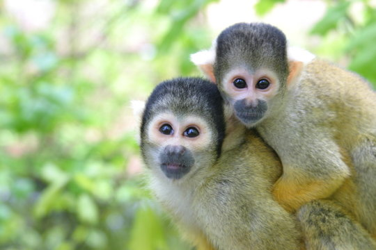mother and baby squirrel monkey