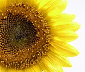 sun flower macro