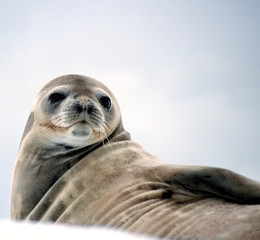 watchful seal