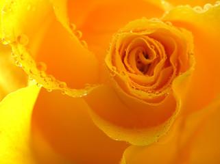 Poster de jardin Macro yellow rose with drops