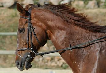 téte de cheval