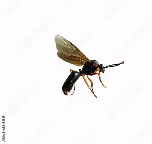 fourmi volante d tour photo libre de droits sur la banque d 39 images image 88389. Black Bedroom Furniture Sets. Home Design Ideas