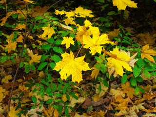 leaves in the autumn forest
