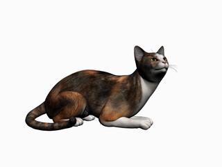 calico cat, over white.
