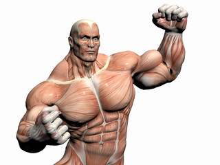anatomy of the man, body builder.