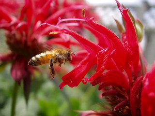 bee and beebalm