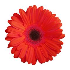 Foto auf Leinwand Gerbera fleur (gerbera rouge)