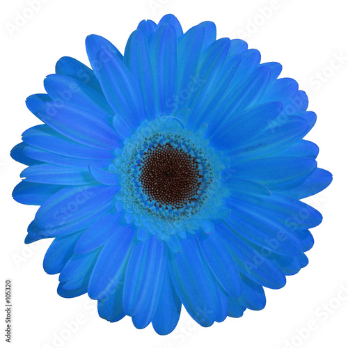 Fleur Gerbera Bleu Stock Photo And Royalty Free Images On Fotolia