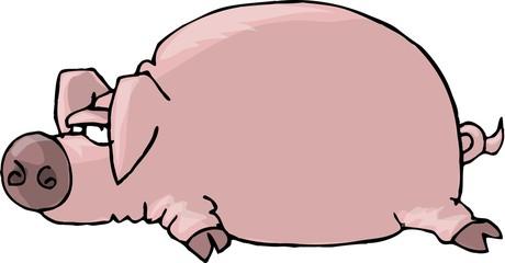 pig lying flat