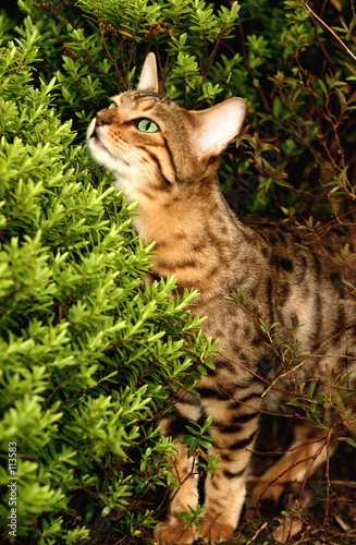 cheap bengal cats for sale