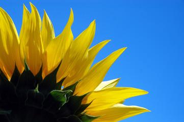 1/4 of sunflower