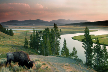 Tuinposter Buffel yellowstone national park