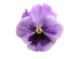 isolated lavender pansy