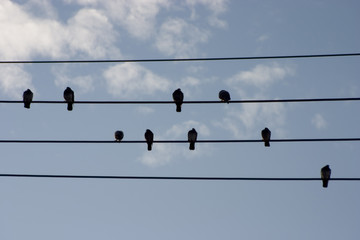 hi-wire birds