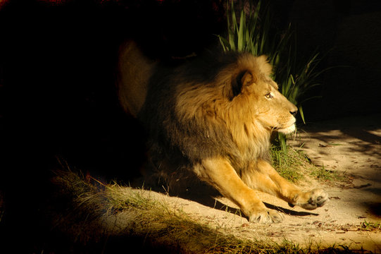 cat 0047 lion walk