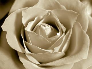 white sepia rose