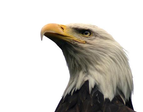 bald eagle, isolated