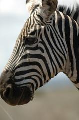 Canvas Prints Zebra zebra head