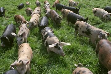 running piggies