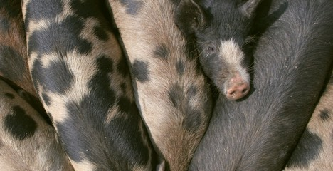 gloucester old spot pigs eating
