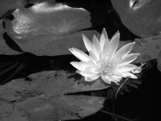 black and white lily