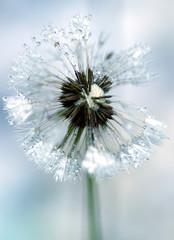 flora - dandelion (taraxacum officinale)
