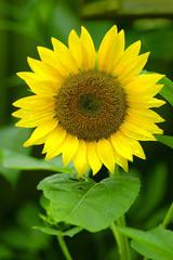 flora - sunflower (helianthus annuus)