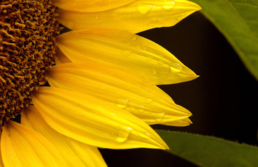 flora - sunflower (helianthus annuus)