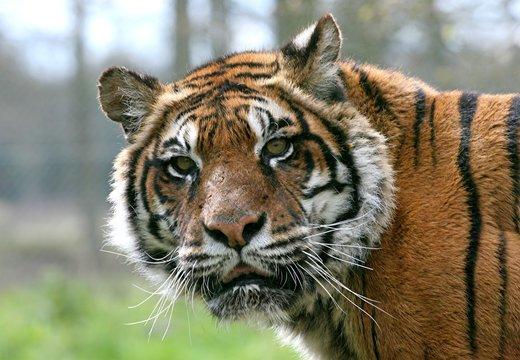 tigre portrait