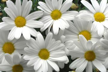 Poster de jardin Macro white daisies