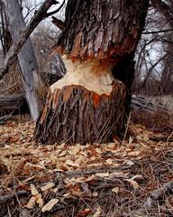 beaver cut