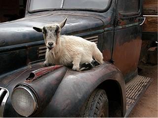 goat on atruck