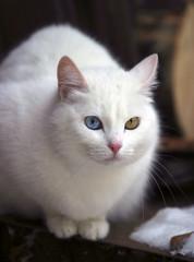 portrait of a white cat