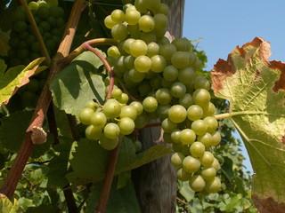 vigne alsacienne