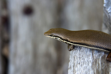 mozambique lizard