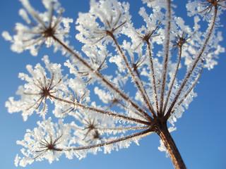 Fotorolgordijn Paardebloemen en water seed with ice crystals