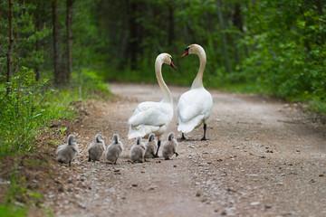 Photo sur Toile Cygne swans family