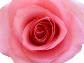 pink rose macro isolated