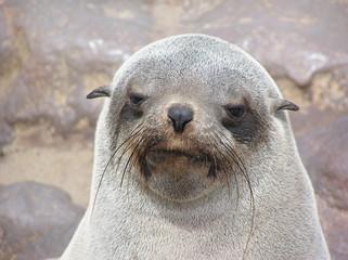 sleepy faced seal