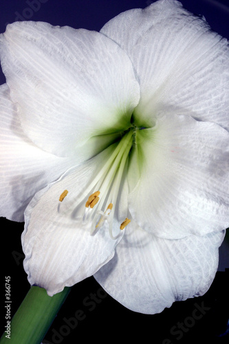 Amaryllis Weiss 2 Stock Photo And Royalty Free Images On Fotolia