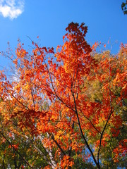 fall foliage red maple