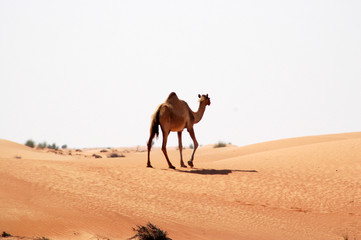 camel on the loose