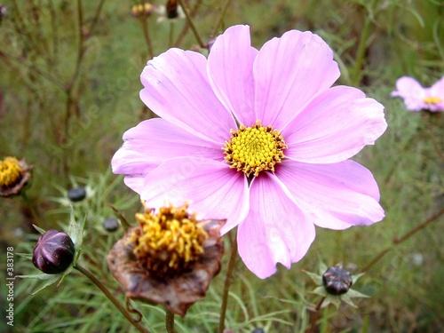 """fleur rose coeur jaune"""" photo libre de droits sur la banque d"""