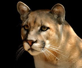 Printed kitchen splashbacks Puma cougar portrait