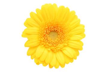 Stores à enrouleur Gerbera gerbera daisy
