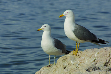 two seagulls on rocks