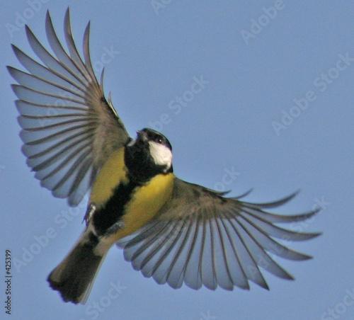 Le vol de la m sange charbonni re 01 photo libre de droits sur la banque d 39 images - Jeux d oiseau qui vole ...